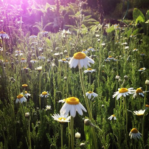 Organic Roman Chamomile Seeds: Non-GMO, Certified Organic Heirloom Seed Packet