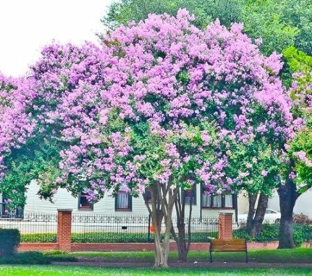 Amazon Com 4 Pack Muskogee Lavender Crape Myrtle Trees 4