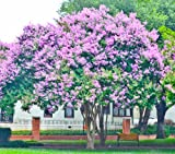 4 Pack Muskogee (Lavender) Crape Myrtle Trees - 4 Live Plants - Quart Containers