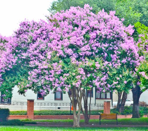 purple crepe myrtle - 1