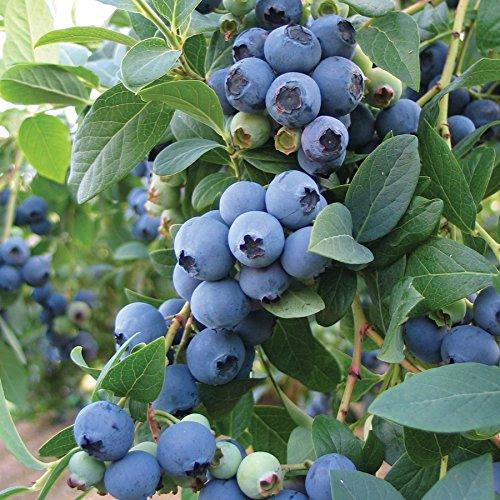 Bluecrop Blueberry Bush - Edible Fruit Berry - Hardy Perennial - Qt Pot - 1 Plant by Growers Solution