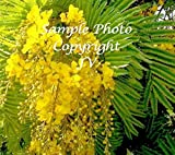 Yellow Flame Tree 15 Seeds Rare exotic Tropical Tree Yellow blossoms Easy ornamental Houseplant or standard Peltophorum pterocarpum