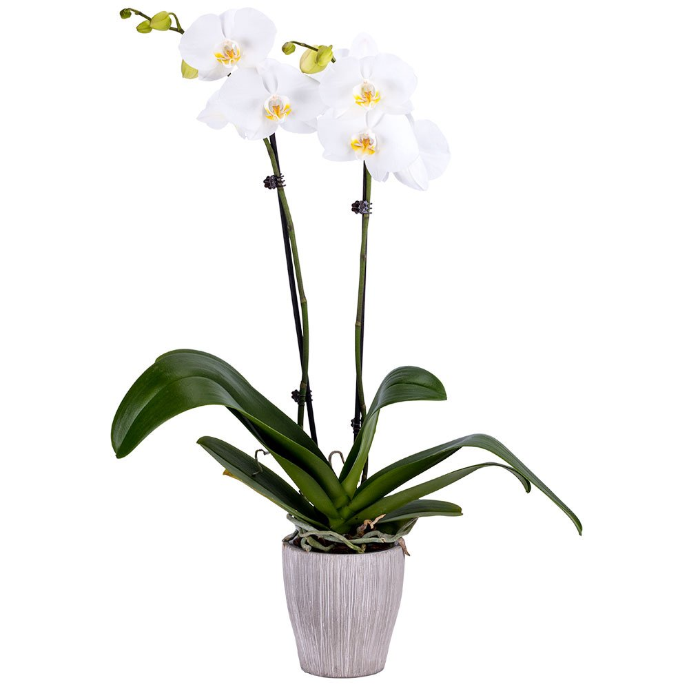 Amazon Com Decoblooms Living White Orchid Plant 5 Blooms
