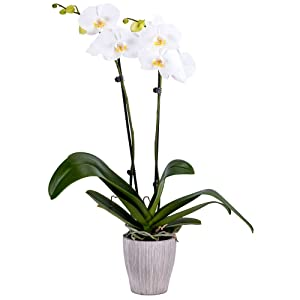 DecoBlooms Living White Orchid Plant - 5 inch Blooms - Fresh Flowering Home Décor