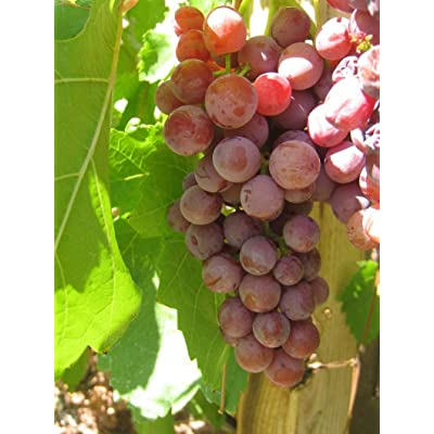 3 Pack Grape Vines, 2 YR Old Healthy Bare Root ASR Plant (Catawba Red) : Garden & Outdoor