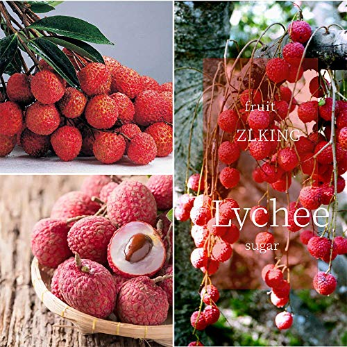100% 10pcs / Pack True Lychee Bonsai Tropical Fruit Tree Plant in Bonsai,red and Yellow Litchi Plant for Home Garden