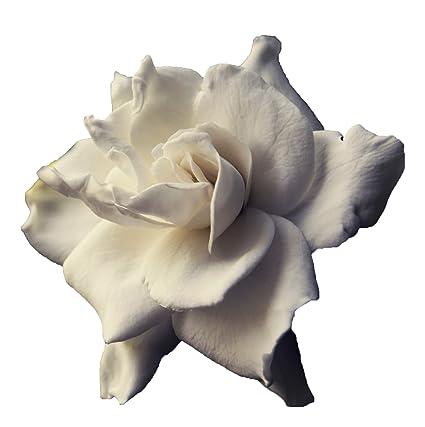 Sandys Nursery Online Gardenia U0027August Beautyu0027 4 ...