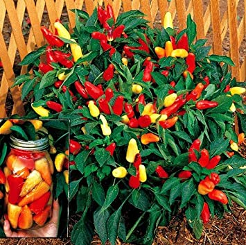 Amazon.com : Sweet Pickle Pepper 20 Seeds -The Christmas Tree ...