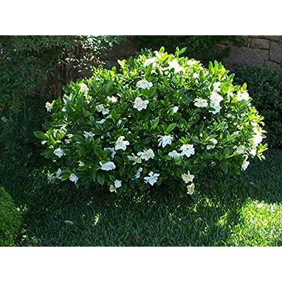 Gardenia Belmont Qty 60 Live Plants Fragrant Flowers : Garden & Outdoor