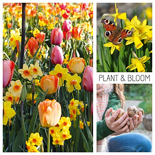 Plant & Bloom Flower Bulbs from Holland, 30 Bulbs - Tulips & Narcissus Daffodils - Easy to Grow - for Fall Planting - Blooms, Hummingbirds & Butterflies Landscape Garden Pastel Shades - Dutch Quality (Perennials That Bloom From Spring To Fall)