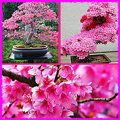 japanese-sakura-prunus-sargentii-flowering-cherry-bonsai-tree-5-seeds-rare