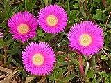 Carpobrotus rossii rare mesembryanthemum exotic succulent mesembs seed 20 SEEDS