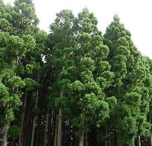 Japanese Red Cedar Tree Seeds (Cryptomeria japonica) (Red Cedar Tree Trunk)