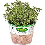 "Bonnie Plants 166 Thyme Lemon Herb Plant, 4"""