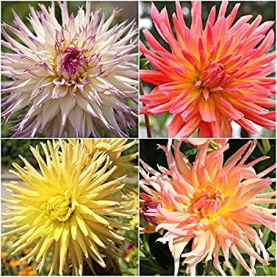 Package of 100 Seeds, Cactus Mixed Dahlia (Dahlia variabilis) Non-GMO Seeds By Seed Needs