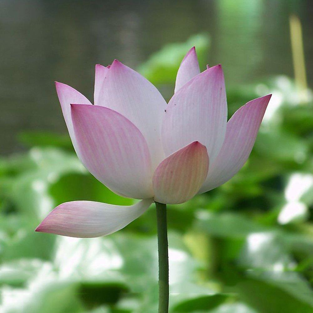 Amazon Best Garden Seeds Heirloom Strong Fragrant White Lotus