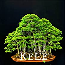 20 juniper bonsai tree Seeds potted flowers office bonsai purify the air absorb harmful gases,#7D1QEX