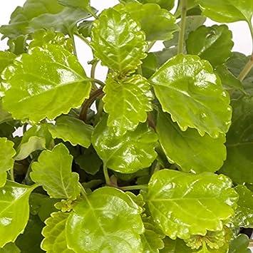 planta del dinero maceta 15cm interior y exterior planta viva