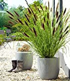 Iekofo Seed house - 50pcs Rare Black Lamprey Grass Seeds Ornamental Grass Bunny Tail Grass Seed Grass Seeds Hardy Perennial for Garden Balcony/Terrace