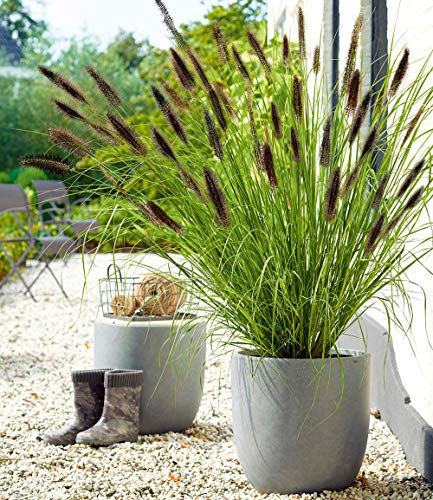 Iekofo Seed house - 50pcs Rare Black Lamprey Grass Seeds Ornamental Grass Bunny Tail Grass Seed Grass Seeds Hardy Perennial for Garden - Seed Grass Ornamental