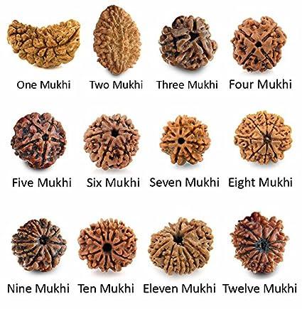 Maalavya Rudraksha Beads - 1 to 12 Mukhi