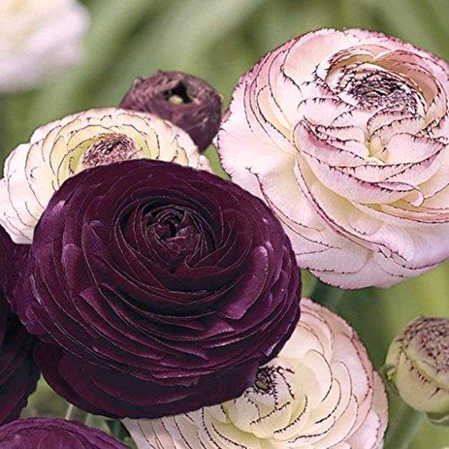 10 Ranunculus Purple & Picotee Pink-Peony Like Heads Perennial Flower Bulbs Large TUBERS