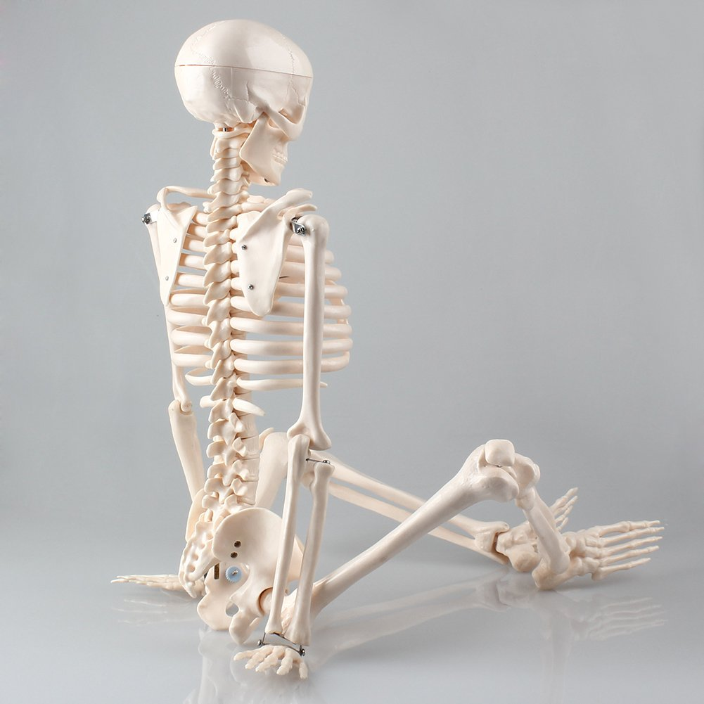 Menschliches Skelett Anatomie Lernmodell 85 cm Lehrmodell ...