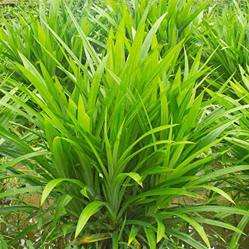 - 50Pcs/Bag Fragrant Grass Seeds Annual Pandan Flower Potted Seeds Fragrant Spices DIY Home Garden Bonsai Plant Seeds