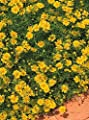Dahlberg Daisy Golden Fleece Annual Seeds
