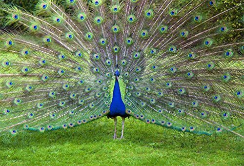 - AOFOTO 10x7ft Beautiful Peacock Show Off Backdrop Common Peafowl Expanded Feathers Out Photography Background Animal Protection Photo Studio Props Video Drape Wallpaper Kid Adult Artistic Portrait