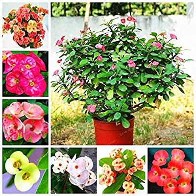 AGROBITS 8: Euphorbia Milii Hybrid Mix Middle 100 Bonsai Mix Colors Crown of Thorns Bonsai : Grocery & Gourmet Food