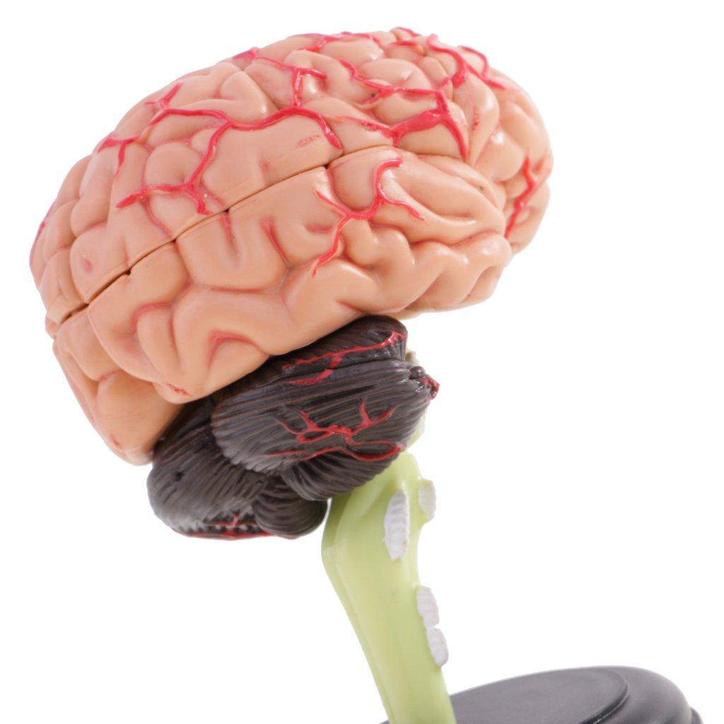 MagiDeal 4D Zerlegt Menschliches Gehirn Strukturelle Anatomie Modell ...