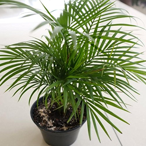 - Chamaedorea Seifrizii Seeds, (40 seeds) Bamboo Palm, Reed Palm, Seifriz's Bamboo Palm. Tropical beauty for both indoor and outdoor