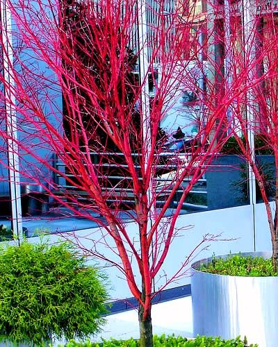 Coral Bark Japanese Maple Acer palmatum 'Sango Kaku' 3 - Year Live Plant Brilliant Red Bark is Bright Red, Year Round Beauty With a Spectacular Range of Leaf Colors by Japanese Maples and Evergreens (Image #3)