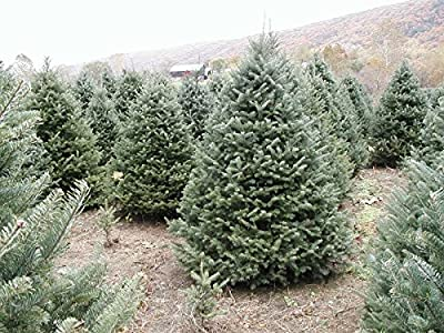"""Canaan Fir - Abies balsamea - Hardy Established Roots - 2.5"""" Potted - 3 Plant by Growers Soltuion"""