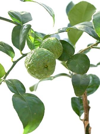 lime tree citrus hystrix kaffir lime amazoncouk garden - Kaffir Lime Tree