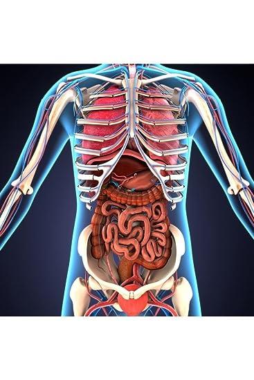 Amazon.de: Poster Gießerei Menschlichen Körper Organe Skelett-3D ...