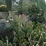 Cutdek Prickly Pear Cactus Mix Seeds (Opuntia Species Mix) 40+Seeds