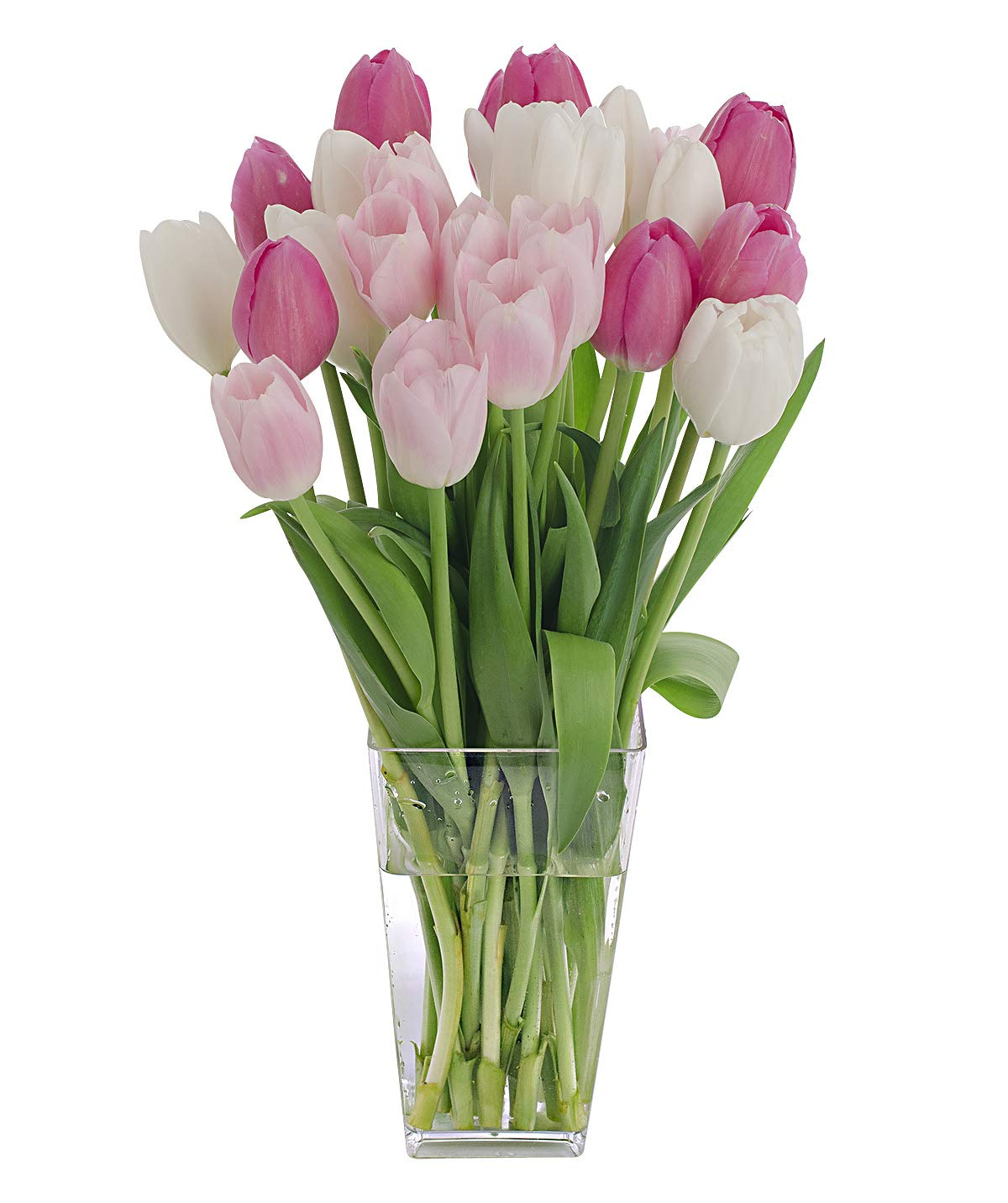 Stargazer Barn Pink Kiss Bouquet 2 Dozen Pink & White Tulips with Clear Vase