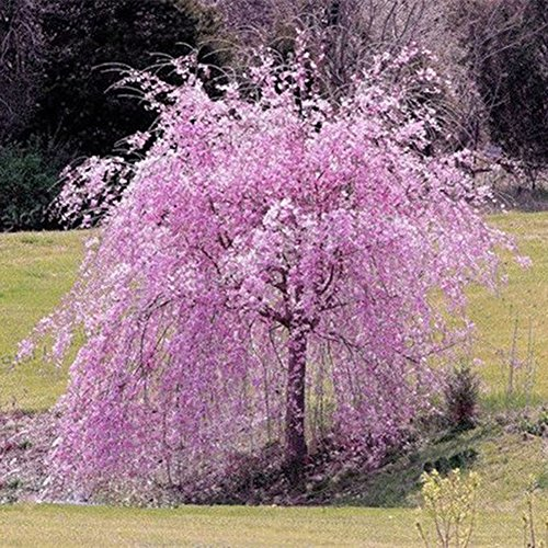 HsgbvictS Cherry Tree Seed Pink Fountain Weeping Cherry Tree Seeds Garden Yard Dwarf Tree Plants - ()