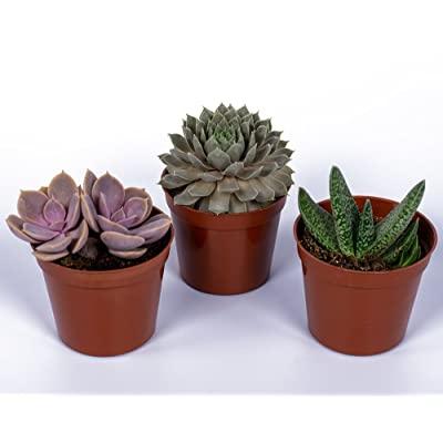 """Seville Farms SUC008 Mini Succulent Trio - Fully Rooted in 2inch Pots - Live Plant, 3 Pack, 2.5"""", Green: Garden & Outdoor"""