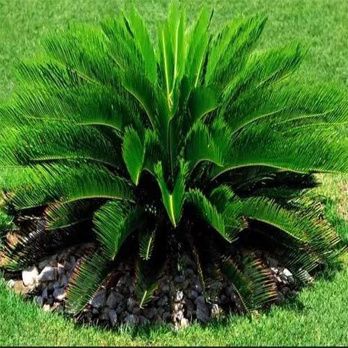 2 Pcs Sago Palm Bonsai Seeds Plant Tree Garden Home Flower Decor Pot ()
