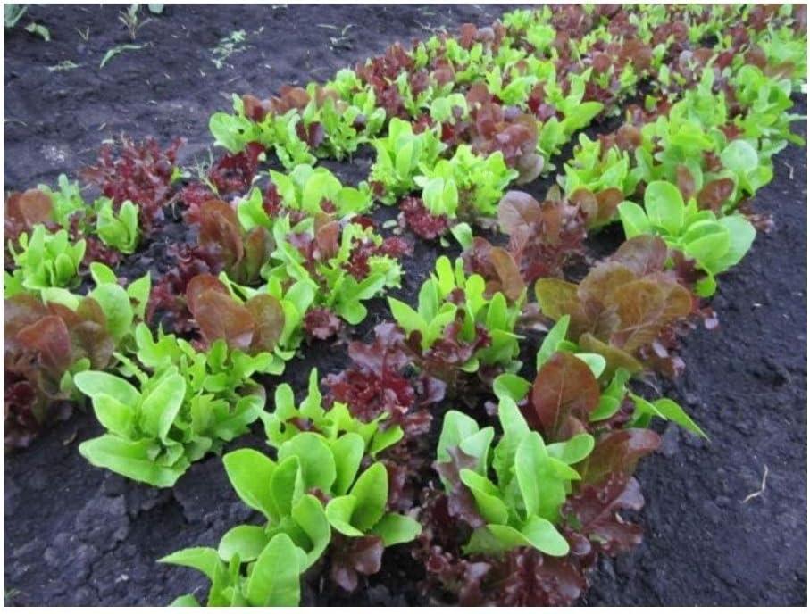 Premier Seeds Direct ORG124 - Semillas (orgánico)