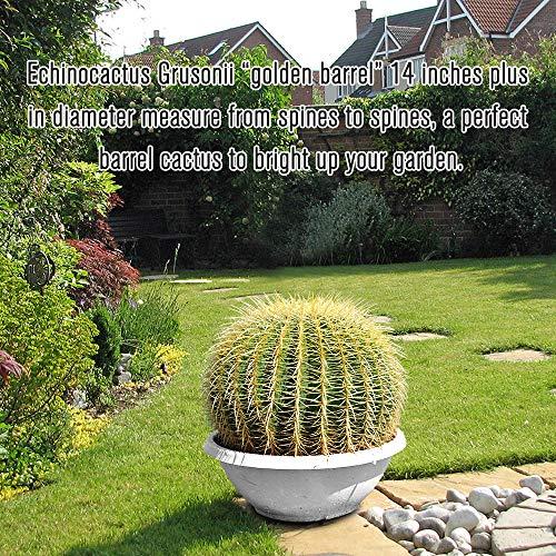 Golden Barrel' 14'' Plus Echinocactus Grusonii Cactus Specimen Very Large Drought Tolerant Plant by THE NEXT GARDENER (Image #5)