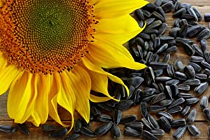David's Garden Seeds Sunflower Short Single Stem Black Oil 9736 (Yellow) Non-GMO, Hybrid Seeds 14 Ounce Package