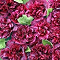 Blackberry Hollyhock Certified Alcea rosea 25 Seeds #66 Item UPC#650348691530