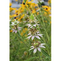 Spotted Bee Balm Seeds - 2000 Seeds