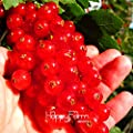 New Arrival!Red currant Fruit plant Pan-American Gooseberry seeds Lantern fruit seed sementes da fruta - 5 Seed/Pack