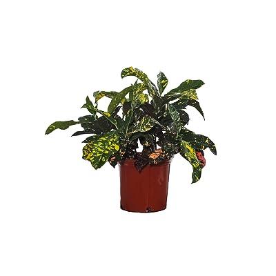 "Croton Magnificent - 3 Gallon Pot - Overall Height 24"" to 28"" - Tropical Plants of Florida : Garden & Outdoor"
