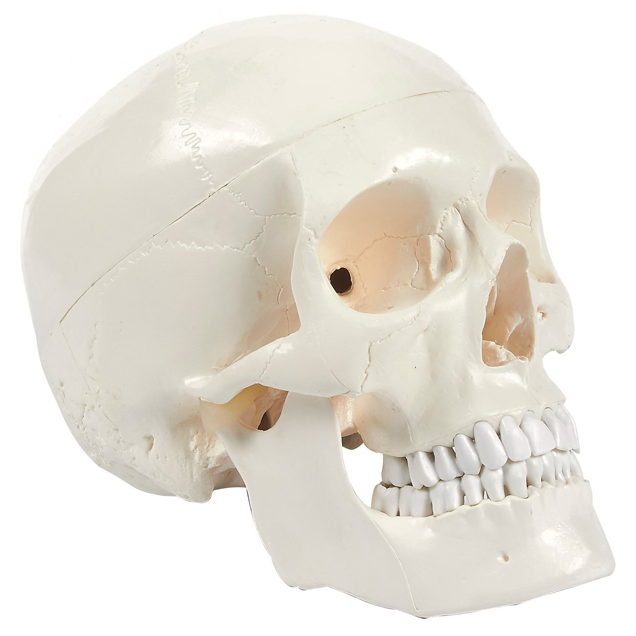 Human Skull Model - Removeable Skull Cap and Articulated Mandible - Anatomical Model   White, 8 x 6.2 x 4.75 Inches Juvale